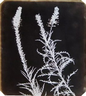 William Henry Fox Talbot  Veronica in Bloom  1840  Photogenic drawing  22.9 x 18.7 cms