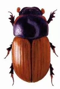 Drawing of beetle by Kari Heliövaara
