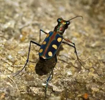 tiger beetle by freedigitalphotos.net and sippakorn