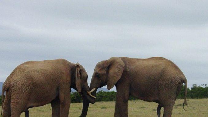 elephants, bragging