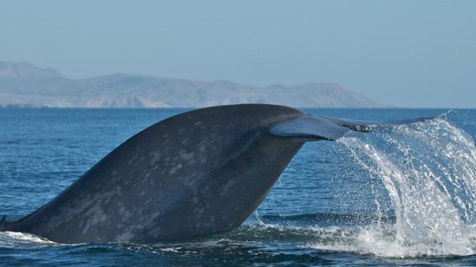 Blue whale by Craig Hayslip, Oregon State University Marine Mammal Institute 1024