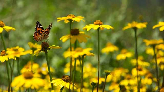 Painted Lady Butterfly on Mountain Oxeye | Sky Island Alliance