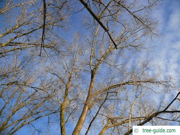 Black Poplar Wood