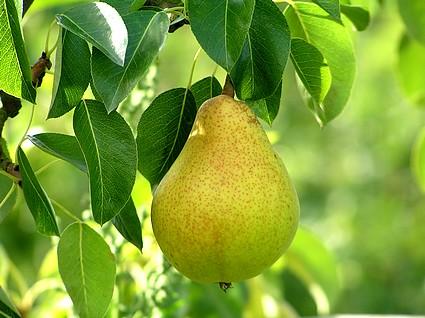 https://i0.wp.com/www.tree-pictures.com/pear1.jpg