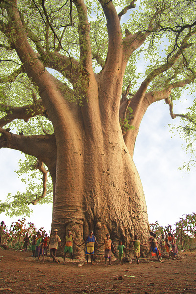 Baobabs Madagascar Adansonia grandidieri Adansonia