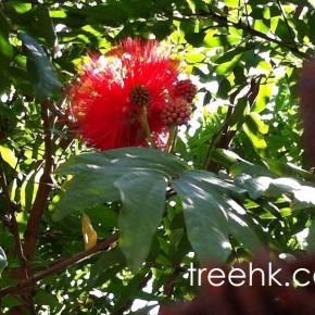 紅戎球 - The Green Touch 香港常見樹木園藝生活The Green Touch 香港常見樹木園藝生活