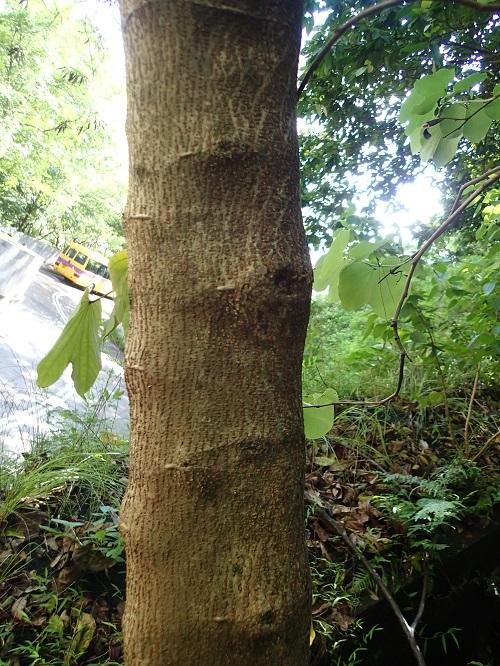 銀合歡 Leucaena leucocephala - Green Touch 香港常見樹木園藝生活