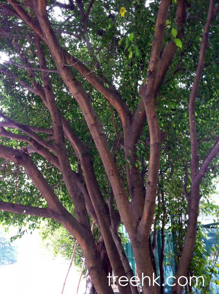 垂葉榕 Ficus benjamina - Green Touch 香港常見樹木園藝生活