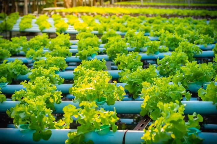 Aquaponic lettuce in plantation nursery