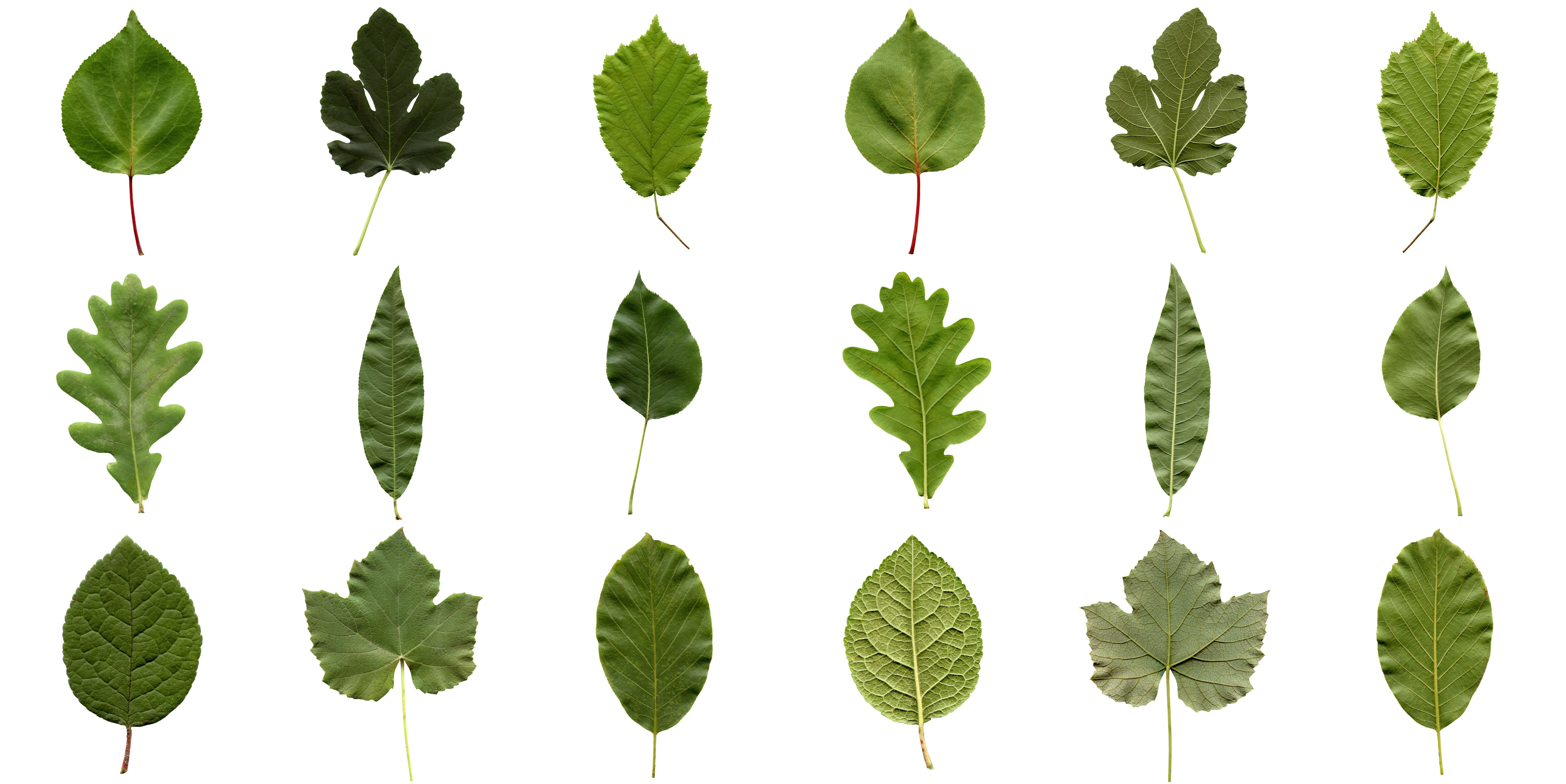 Why Do Leaves Have Such Different Shapes