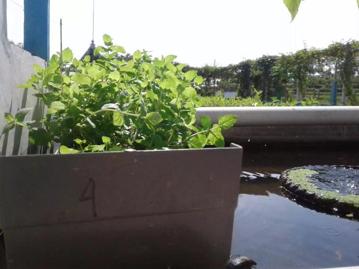 Aquaponic mint grown in Indonesia