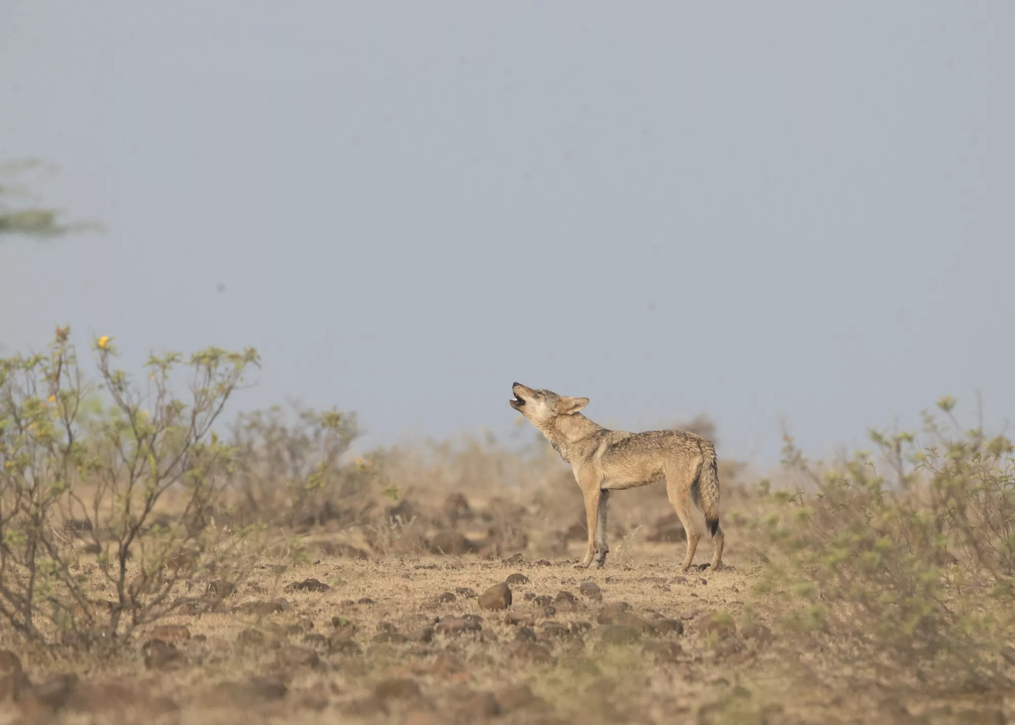 Indian wolf howling