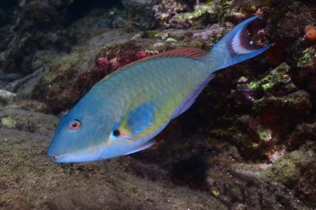 a parrotfish eating algae on a coral reef.