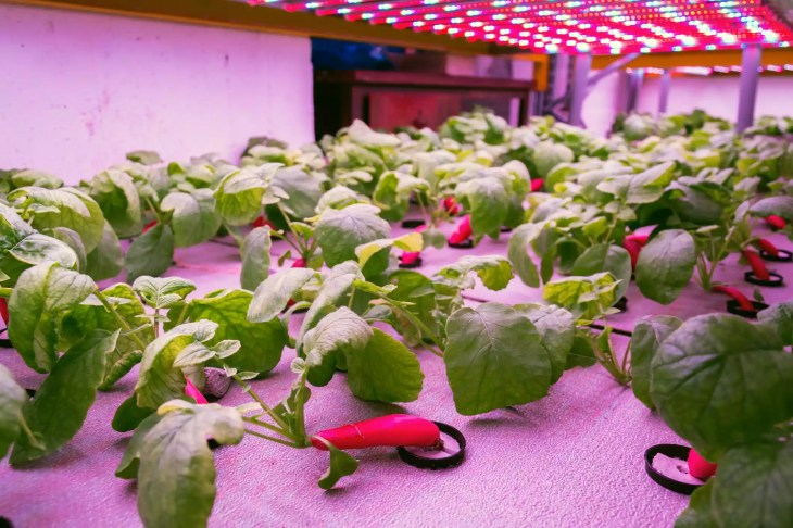 Radishes growing in an greenhouse aquaponic system