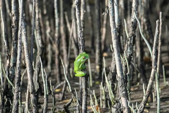 Cape Tribulation Discovery Tour - Solar Whisper Wildlife Cruise - White Lipped Green Tree Frog in Mangroves