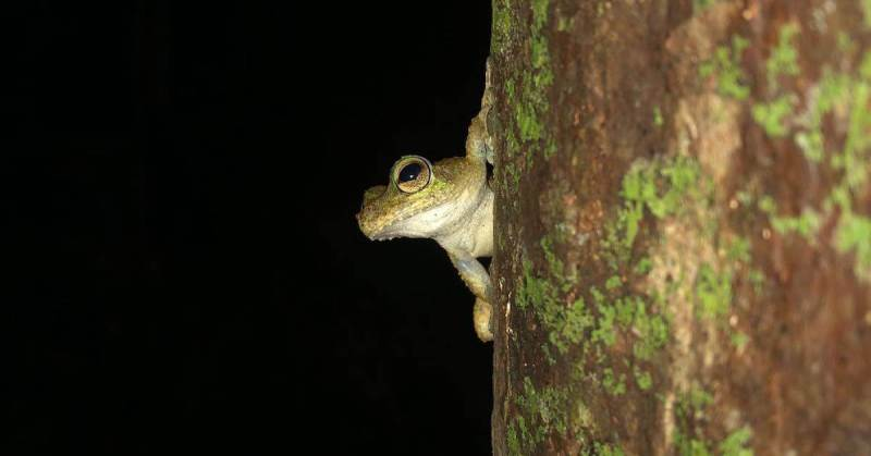 Hello mr tree frog on our Daintree Family Night Walk
