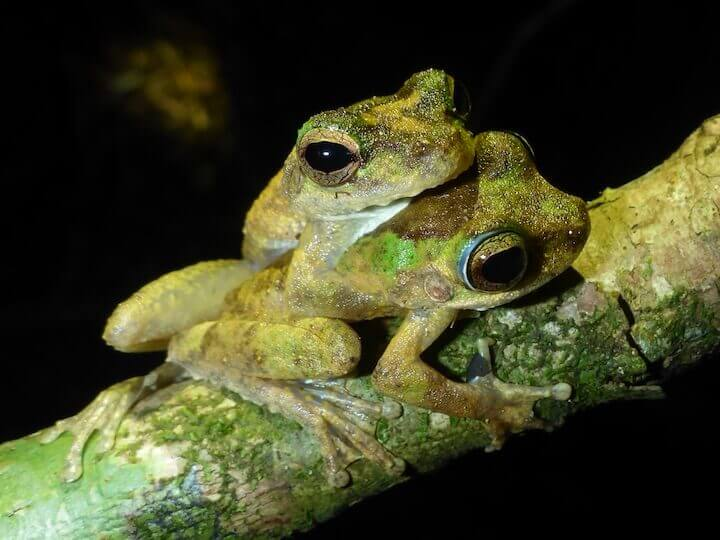 Tree Frogs spotted on a Daintree Night Walks, Cape Tribulation Nocturnal Wildlife