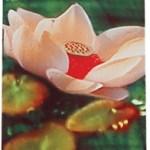 Auroshikha Stick Incense: Amber. 16 incense sticks. (10 grams/.35 oz)