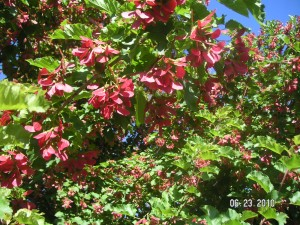 Tatarian Maple