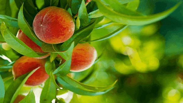 FRUIT TREES Pear Apple Cherry Plum Peach Apricot