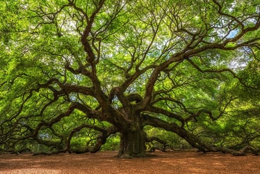 Oak Trees Buying Growing Guide Trees Com