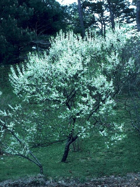 Prunus maritima Beach Plum Seed Description