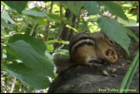 A chipmunk sitting on a rock, eating a crab apple.