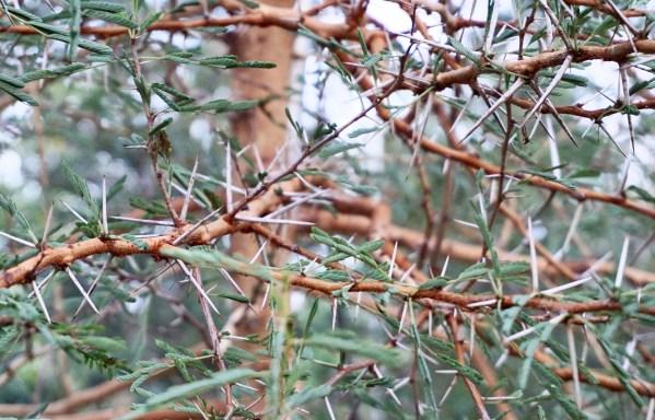 Acacia Seyal also known as Red Acacia closeup at TreeWorld Wholesale