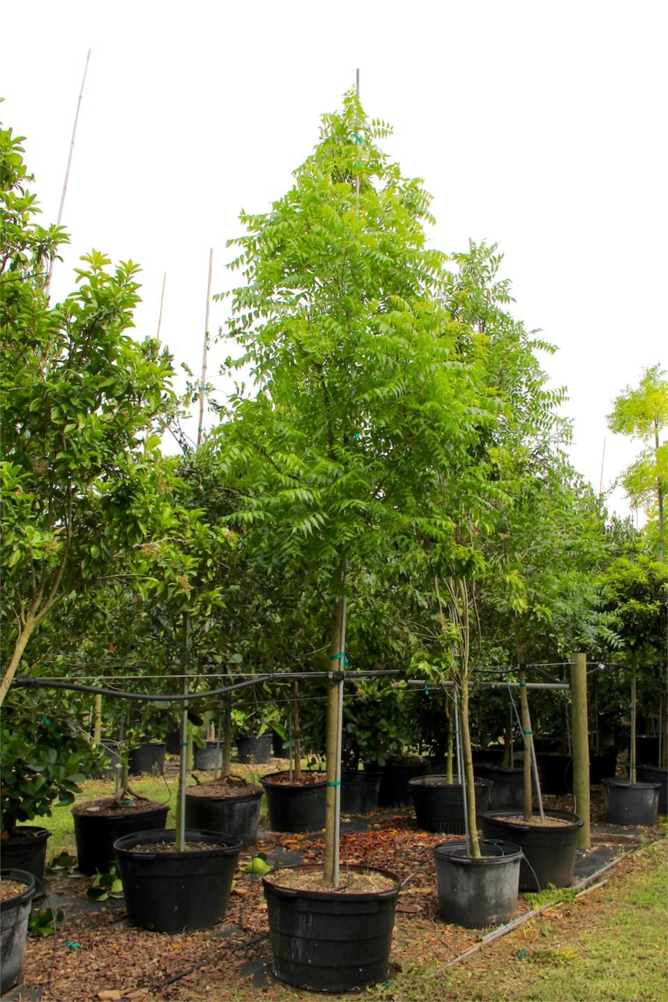 Neem Tree (Azadirachta indica) 45 gal