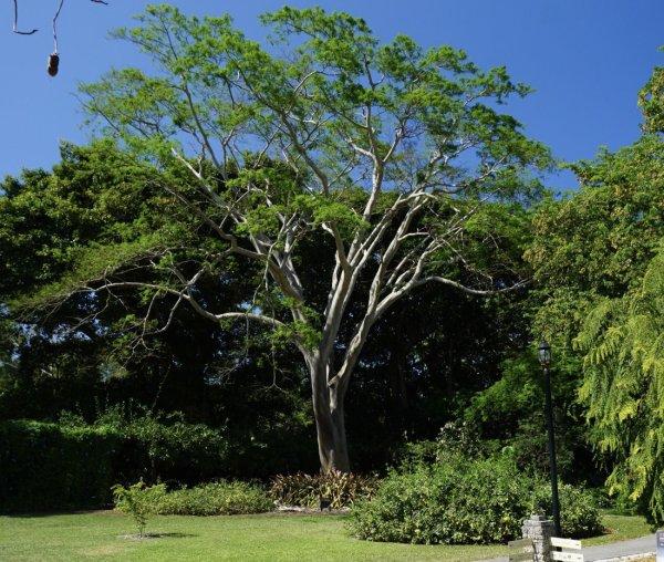 Albizia Niopoides (Silk Tree) Specimen