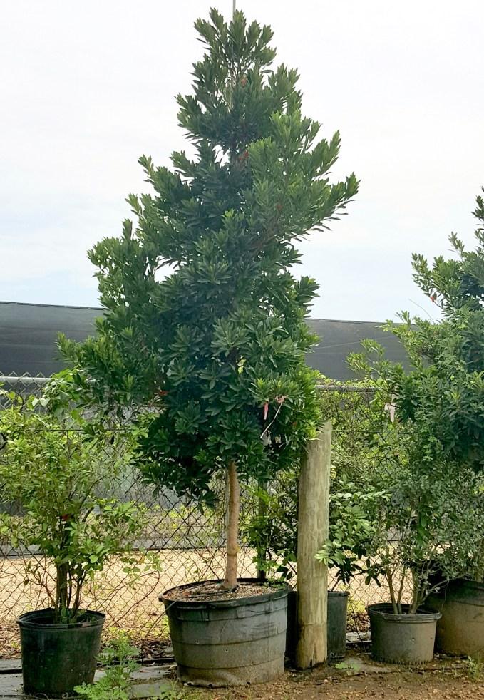 Elaeocarpus Decipiens (JAPANESE BLUEBERRY TREE)