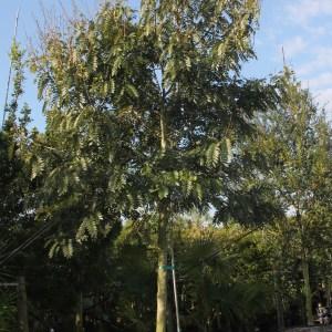 Senna Siamea (KASSOD TREE)
