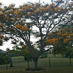 Delonix regia flavida (Yellow Poinciana)
