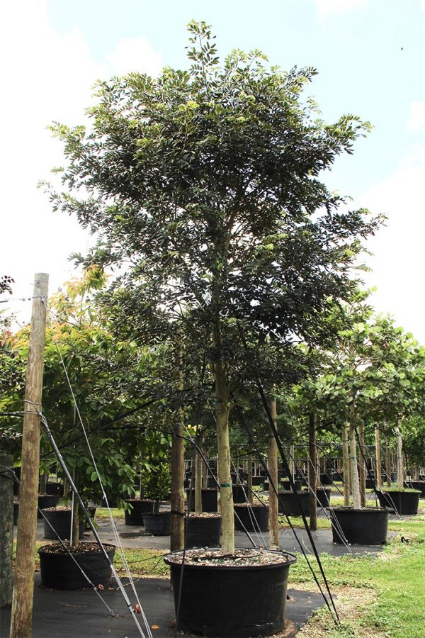 100 gal jamaican dogwood at TreeWorld Wholesale