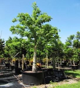 Adansonia Digitata (African Baobab) 200 gal