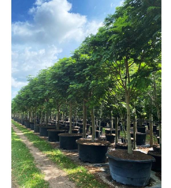 200 gallons pithecilobium arborea lorito tree at TreeWorld Wholesale