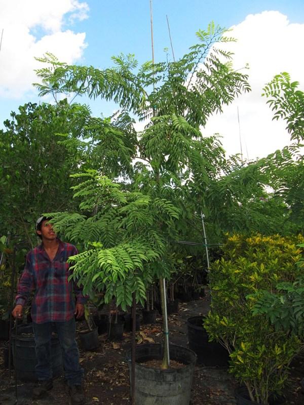 25 gal lonchocarpus violaceus1