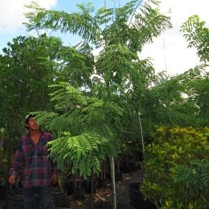 25 gal Lonchocarpus Violaceus (Lancepod)