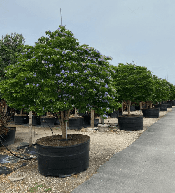 Guaiacum Officinale (Tree of Life)
