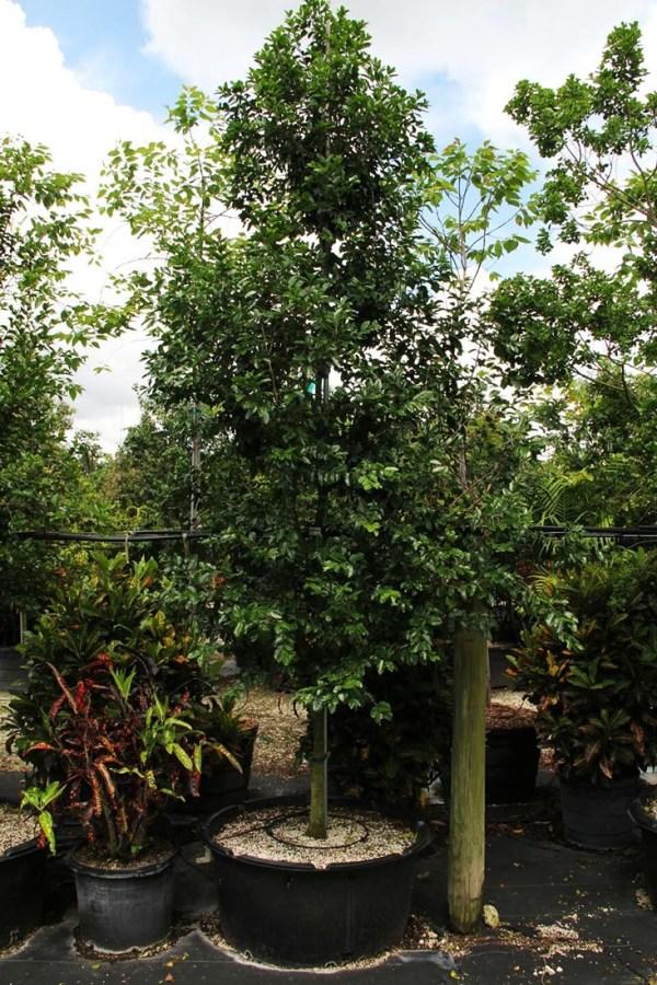 45 gal black ironwood at TreeWorld Wholesale
