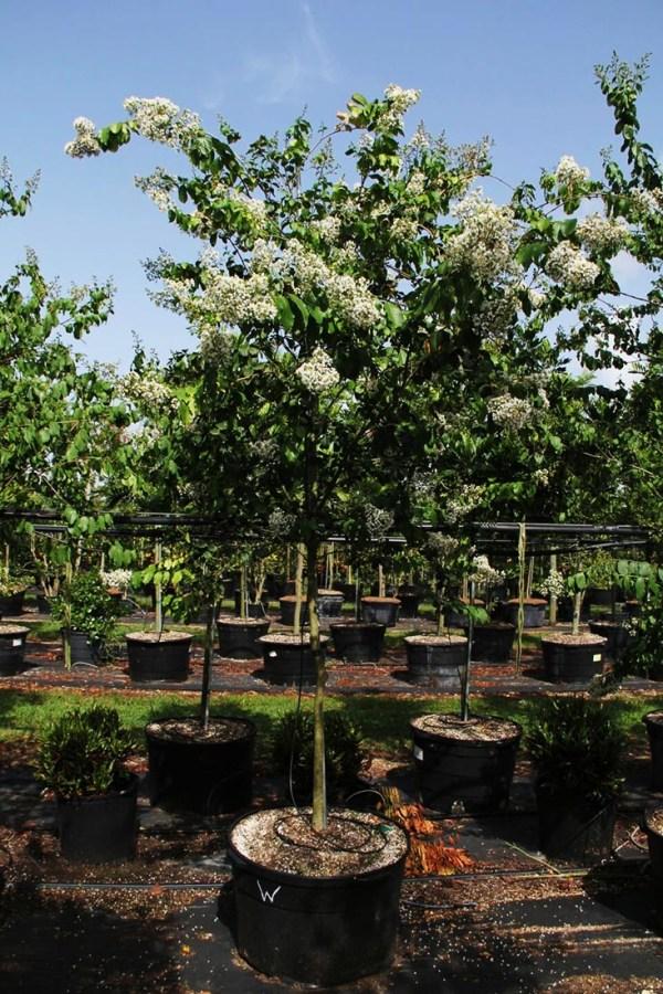 45 gal lagerstroemia indica (NATCHEZ) 3 at TreeWorld Wholesale