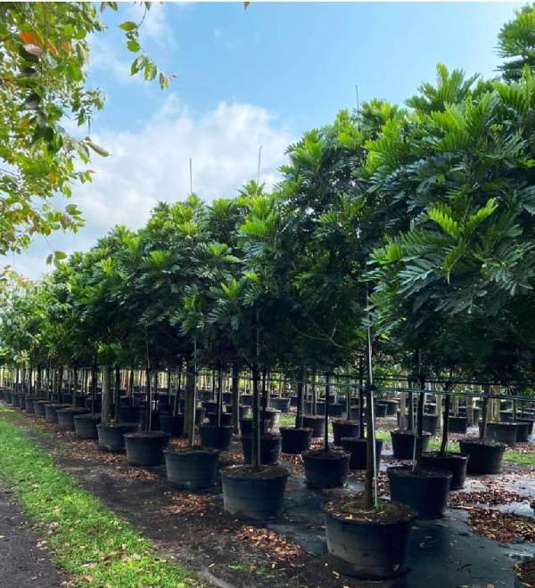 50 gallons japanese fern tree at TreeWorld Wholesale