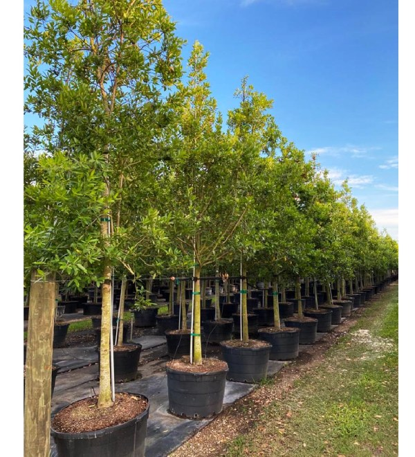 50 gallons Ilex cassine tree row at TreeWorld Wholesale