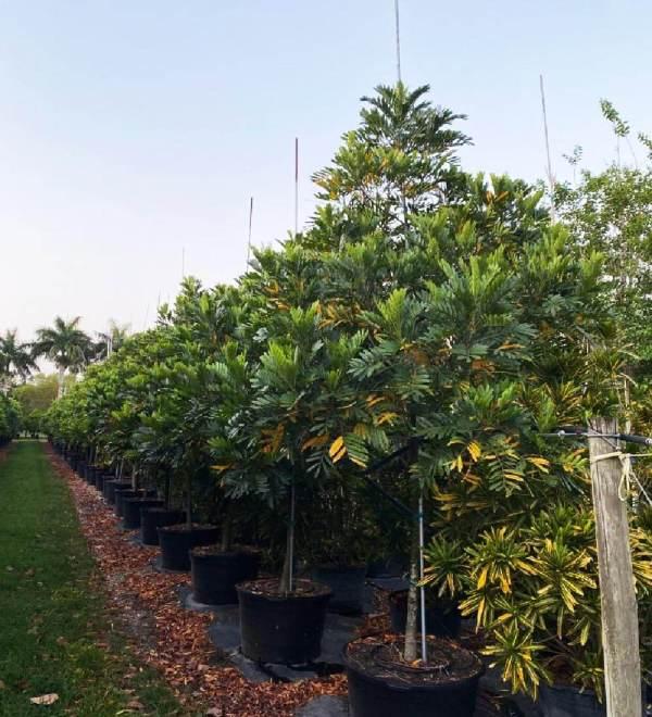 50 gallons japanese fern tree row at TreeWorld Wholesale
