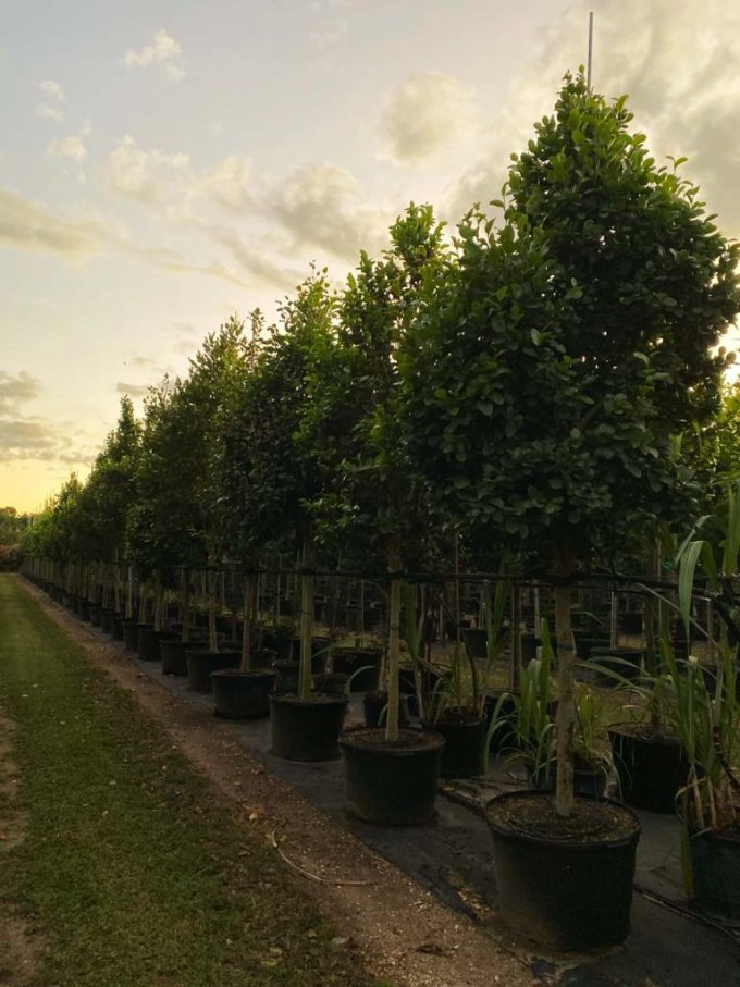 50 gallons Pigeon Plum tree row at TreeWorld Wholesale