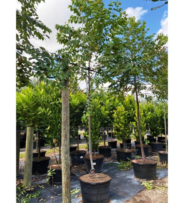 50 gallons eucalyptus deglupta at TreeWorld Wholesale