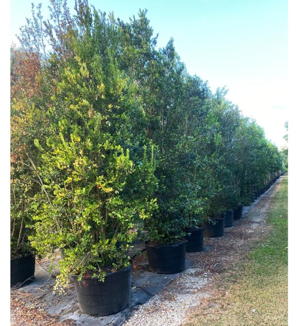 vegetation sound barrier 50 gallons spanish stopper bush at TreeWorld Wholesale