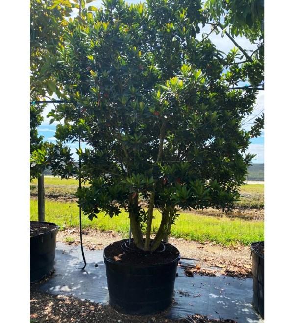 65 gallons japanese blueberry multitrunk at TreeWorld Wholesale