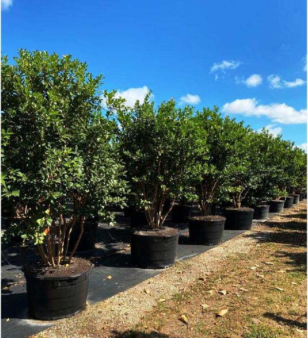 65 gallons Cattley Guava tree row at TreeWorld Wholesale