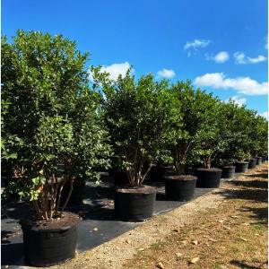 65 gallons Psidium Littorale (Cattley Guava)tree row at TreeWorld Wholesale